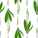 Seamless herbal pattern, Great plantain, Plantago major medicinal plant wild field flower  on white background. Hand drawn vector doodle ink sketch for design Royalty Free Stock Photography