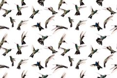 Seamless image of photographed flying hummingbirds. Hummingbirds photographed in flight on a white background. Seamless image to be repeated endlessly Stock Image