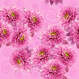 Seamless infinite pink floral background. For design and printing. Background of natural chrysanthemums. Royalty Free Stock Image