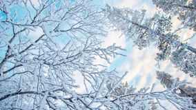 Seamless loop - Looking up at snowy branches and trees snow falling, video HD. Seamless loop - Looking up at snowy branches and trees in winter background, snow stock footage