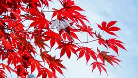 Seamless loop, red colorful autumnal maple leaves, blue sky background - Autumn concept video HD stock footage