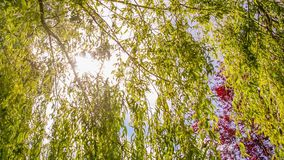Seamless loop - sun beam between the branches of a weeping willow tree, nature concept, Video HD stock video