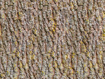 Seamless old oak tree bark. Texture with moss Stock Images