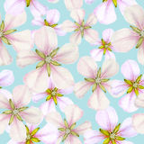 Seamless pattern with apple flowers. Seamless pattern of spring apple flowers royalty free illustration