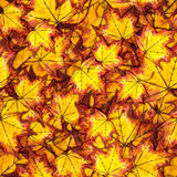 Seamless pattern with autumn yellow leaves. Seamless pattern with autumn yellow and red maple leaves, hand painted watercolor illustration for fabric, textile Stock Images