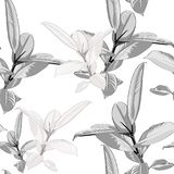 Seamless pattern, black white Ficus Elastica leaves on white background. Vector illustration Stock Photos