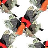 Seamless pattern bullfinch bird family winter red belly vector i Stock Photos