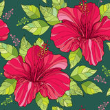 Seamless pattern with Chinese Hibiscus flower in red and green ornate leaves on the dark green background Stock Image