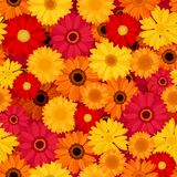 Seamless pattern with colorful gerbera flowers. Vector illustration. Royalty Free Stock Photos