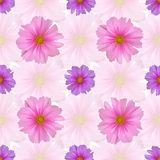 Seamless pattern with cosmos flower. Pink and purple cosmea Stock Image