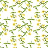Seamless pattern with drawing plant of Hypericum. Seamless pattern with flowers of hypericum, watercolor drawing floral background, botanical illustration in Stock Photography