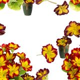 Seamless pattern.Flowers and leaves of primrose. Decorative composition on white background. royalty free stock images
