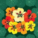 Seamless pattern with flowers nasturtium Royalty Free Stock Photography