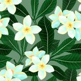 Seamless pattern with Frangipani Plumeria flowers. Vector seamless pattern with Frangipani Plumeria flowers. Exotic plant illustration Stock Image