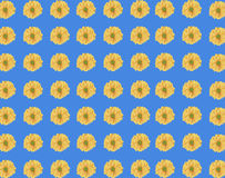 Seamless pattern of fresh yellow daisy flower on blue background Royalty Free Stock Images