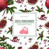 Seamless pattern Hand drawn sketch style pomegranates with seeds and leafs. Sketch style vector illustration. Organic Stock Photos