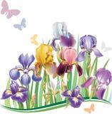 Seamless pattern with Iris Stock Photo