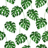 Seamless pattern with monstera leaves. Tropical jungle plants. Woody natural rainforest vector illustration