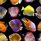 Seamless pattern. Multi-colored fishes on a black background. stock photos