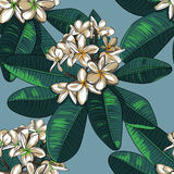 Seamless Pattern with plumeria Flowers and Frangipani. Royalty Free Stock Photo