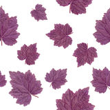 Seamless Pattern. Purple Leaf Geyer Isolated on white background. Stock Photos