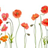 Seamless pattern with Red Poppy Flowers. On white background Royalty Free Stock Images