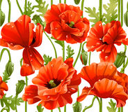 Seamless pattern of red realistic poppies Royalty Free Stock Photos