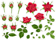 Set of decorative red roses. Beautiful realistic flowers, buds and leaves. Stock Image