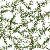 Seamless pattern rosemary. Royalty Free Stock Photos