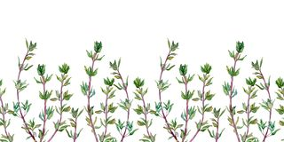 Seamless pattern of thyme. Watercolor border of spice isolated on white background. vector illustration