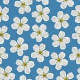 Seamless pattern. White cherry flowers on a blue background. Stock Image