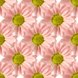 Seamless Pink Daisy Design Stock Images