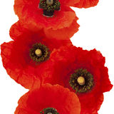 seamless repeatable photo border of red poppies Royalty Free Stock Photo