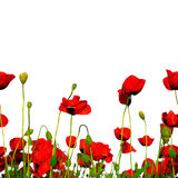 Seamless row of poppies Stock Photos