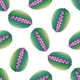 Seamless texture, background maranta Leaf. Template tropical leaf for design fabric. Vector image. Arrowroot plant with motley lea. F, the color illustration a Stock Photography