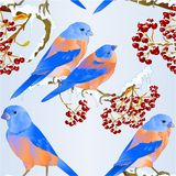 Seamless texture Bluebirds birds thrush small songbirdon on on snowy tree and berry winter background vintage vector illustration. Editable hand draw stock illustration