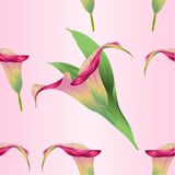 Seamless texture calla lily Pink  flower   herbaceous perennial ornamental plants   vintage  vector illustration editable. Hand draw Stock Image