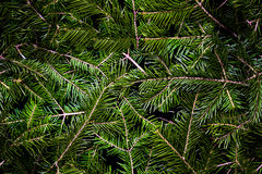 Seamless texture of coniferous of green spruce Royalty Free Stock Image
