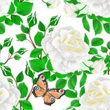 Seamless texture flower white rose and buds and a butterfly festive background vintage vector illustration editable. Hand draw Stock Photography