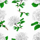 Seamless texture three white flowers Camellia Japonica  with buds vintage vector illustration editable. Hand draw Stock Image