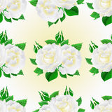 Seamless texture two white roses  festive  background vintage vector botanical illustration. Editable hand draw Royalty Free Stock Photography