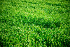 Seamless tiling medium length grass texture Stock Photo