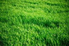 Seamless tiling medium length grass texture Stock Photo