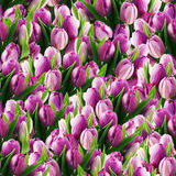 Seamless tulips Royalty Free Stock Image