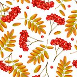 Seamless vector autumn pattern. With rowan branch, orange leaves and red berries on white background. Realistic 3d mesh rowan branch seamless vector autumn Royalty Free Stock Photography