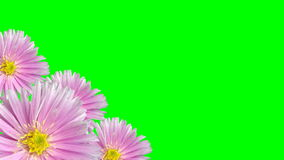 Seamless violet floral background loop on green stock video footage