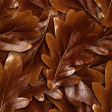 Seamlessly brown oak leafs background. Royalty Free Stock Image