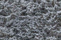 Seamlessly tileable snowy spruce texture. Can be repeated both way Stock Images