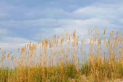 Seaoats on dune against blue s. Sea oats growing on a dune of white sand against a cloudy blue sky Stock Images