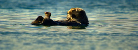 Seaotter Stock Photos